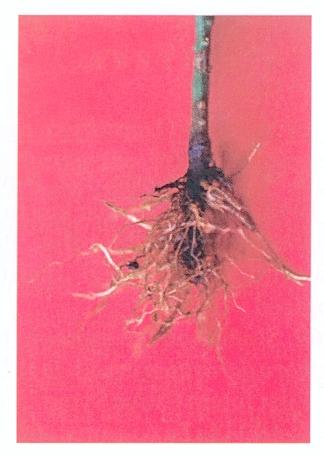 Resultado de imagen para Phytophthora parasítica en limon