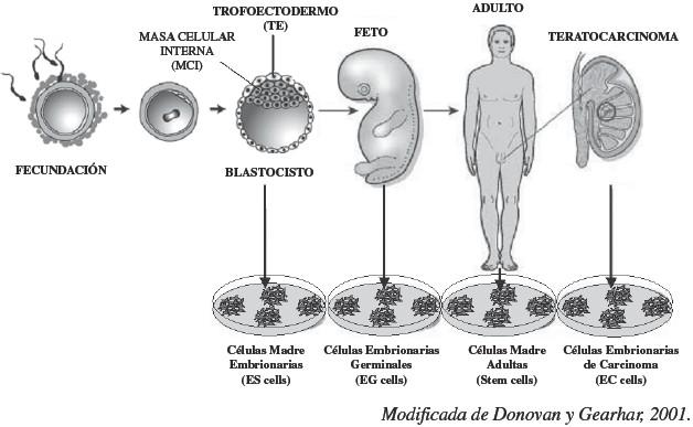 Biología De Las Células Madre Embrionarias Es Cells En