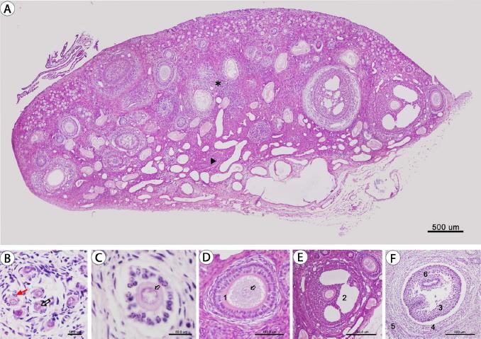 Vascularización Morfología E Histología Del Ovario En El