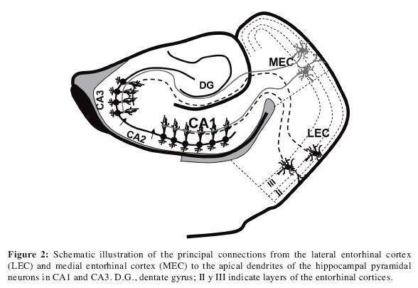 The Parietal Association Cortex Of The Rat