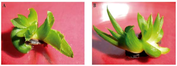 Effect of 6 benzyl aminopurine and thidiazuron on in vitro - Aloe vera culture ...