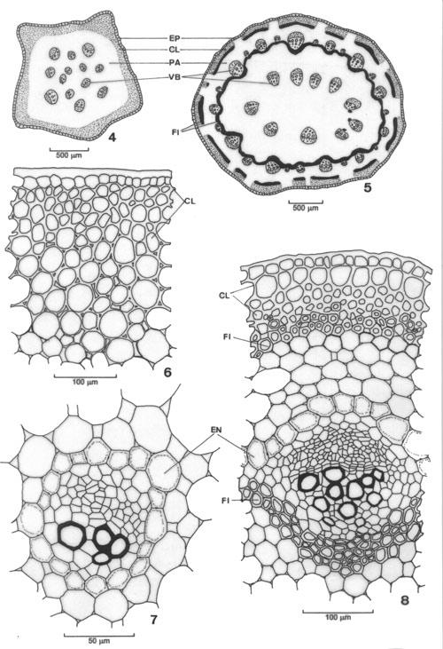 Morfologia Y Anatomia Comparativa De La Hoja Y Tallo De Peperomia