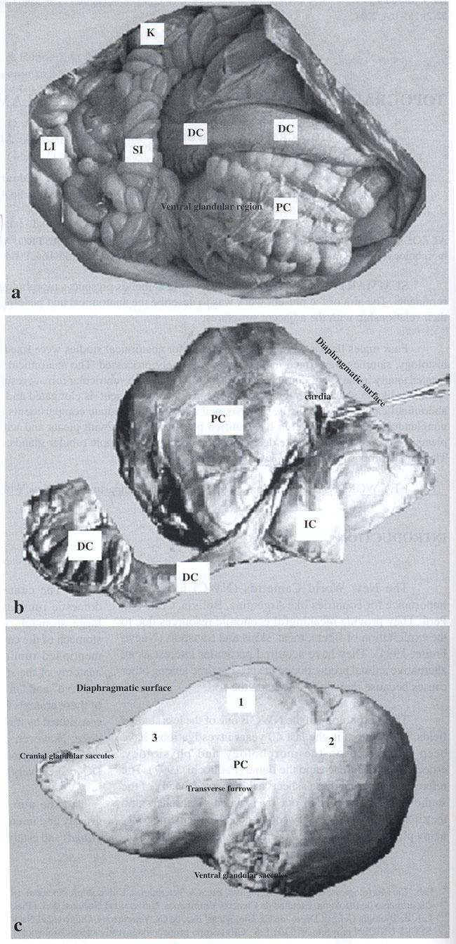 Topografía Y Morfología Del Estómago De Llama Lama Glama