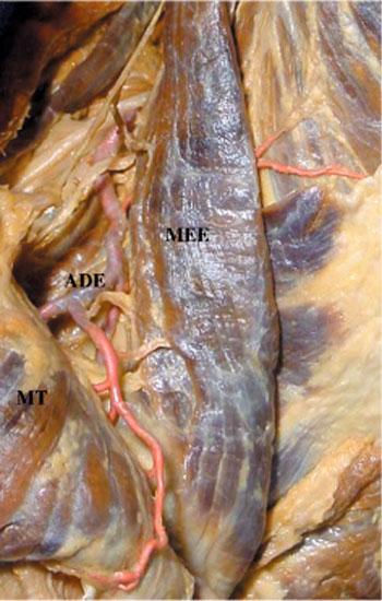 Músculo Elevador de la Escápula: Irrigación e Inervación