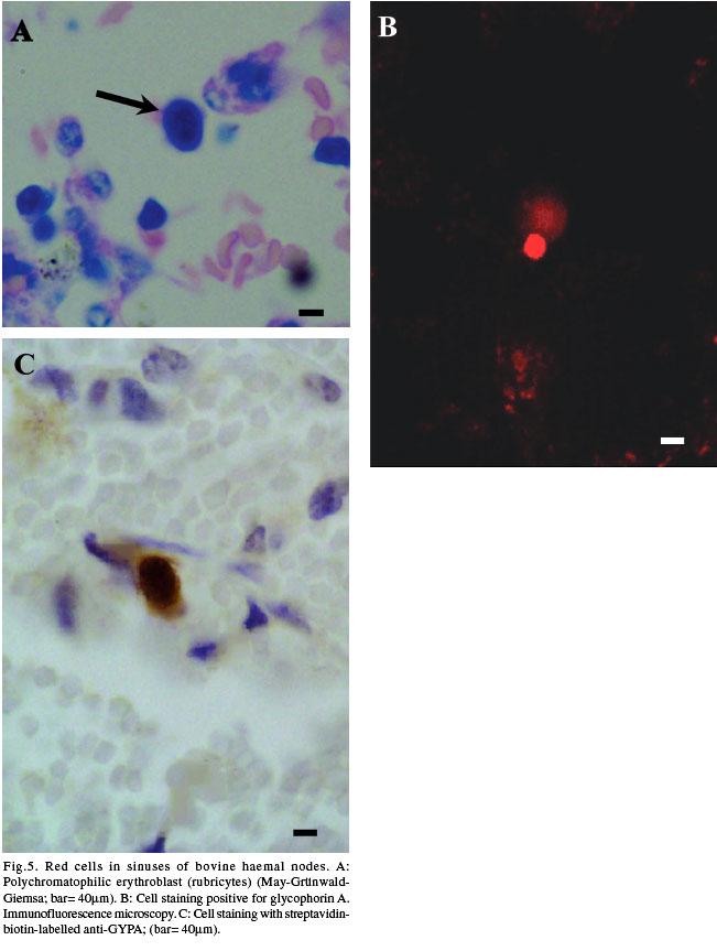 Eritropoyesis y Eritrofagocitosis en Nodos Linfáticos Hemales de Bovino