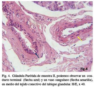 Histologia de la glandula salival
