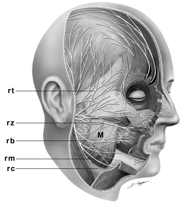 mature-facial-nerve-branch