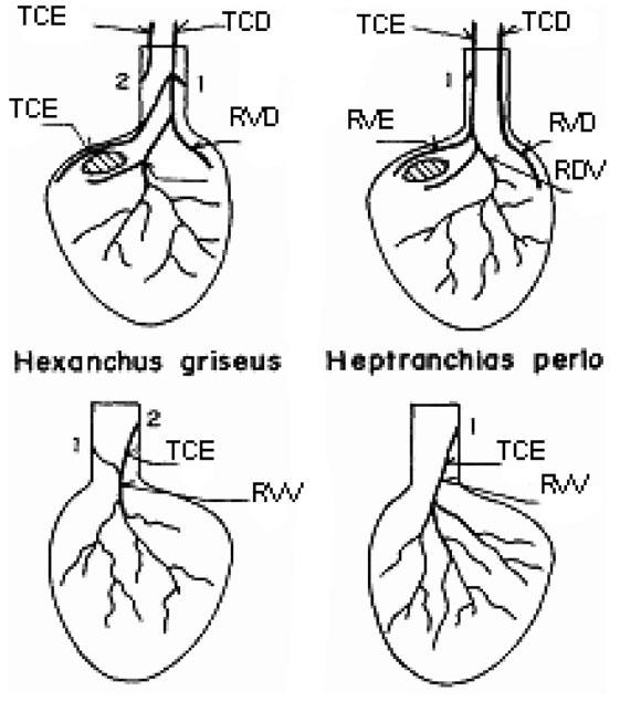 Conexin De La Arteria Coronaria Estudio De Las Variedades