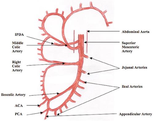 Superior And Inferior Mesenteric Artery Diagram - Block And ...