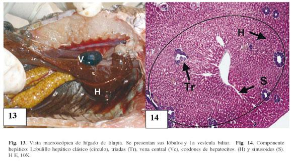 Descripción Anatómica, Histológica y Ultraestructural de la Branquia ...