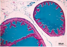 histología prostática del ratón