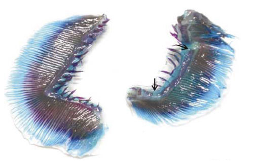 Deformación de Branquias en Salmónidos: Análisis Macroscópico ...