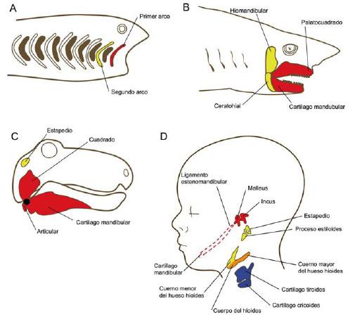 Desarrollo de Cara y Cuello en Vertebrados