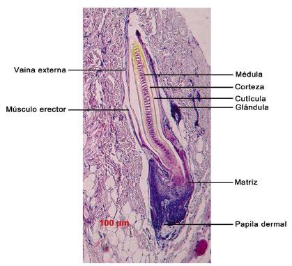 Desarrollo de la Piel y sus Anexos en Vertebrados