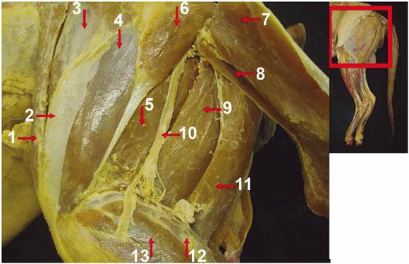 Descripción Anatómica de los Músculos del Miembro Pélvico de Puma ...
