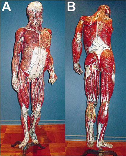 La Estatua Anatómica del Dr. Auzoux: Primer Modelo Anatómico de Uso ...