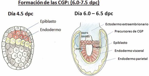 Caracterización Y Marcación De Células Germinales Primordiales