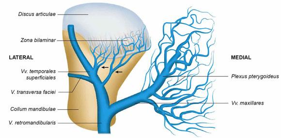 Irrigación e Inervación de la Articulación Temporomandibular: Una ...