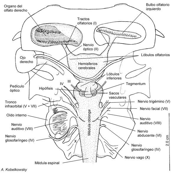 Anatomía Comparada del Neurocráneo y el Encéfalo de la Raya Mariposa ...