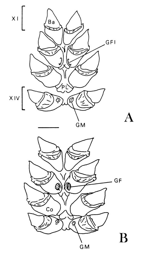 Intersexualidad en el camarón excavador Parastacus pugnax (Poeppig ...