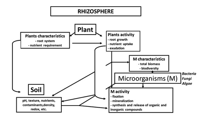 Enzymes of importance to rhizosphere processes
