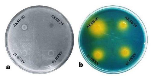Potassium solubilizing bacteria (KSB):: Mechanisms, promotion of
