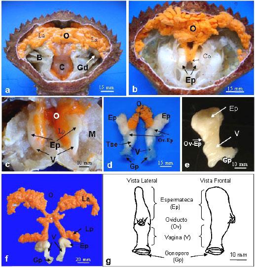 Sistema reproductivo de hembras y machos en Cancer setosus (Molina ...
