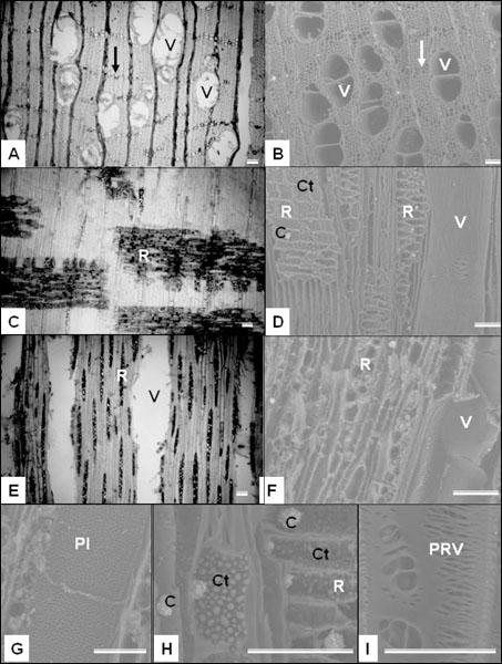 Análisis de la estructura anatómica de la madera y del carbón de dos ...