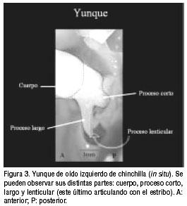Estudio morfológico del oído medio e interno de la