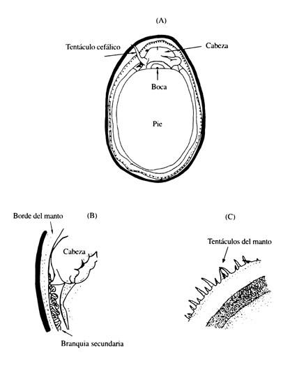 Los Patelogastrópodos Intermareales De Chile Y Perú