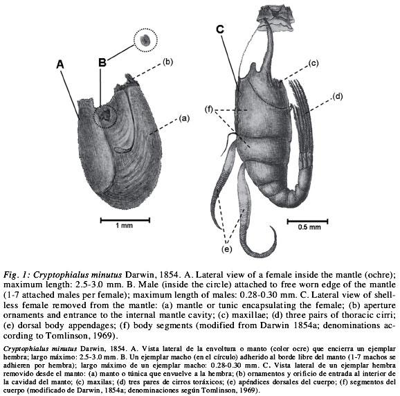 Darwin Taxnomo Cirrpedos Y Cirrpedos Perforadores De Conchas