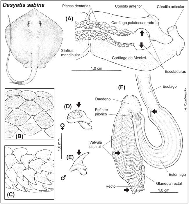 Anatomía comparada del sistema digestivo de las rayas Urotrygon ...