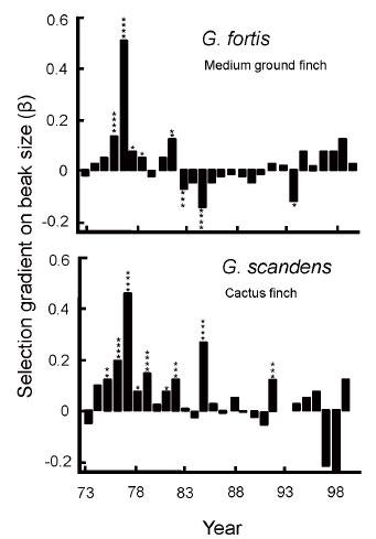 Geospiza magnirostris reproduccion asexual