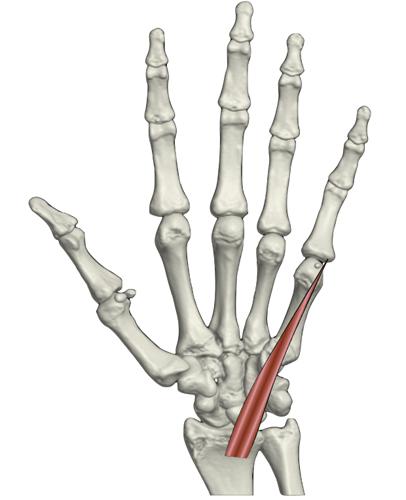 Músculos accesorios de la muñeca: Revisión pictográfica en US y RM