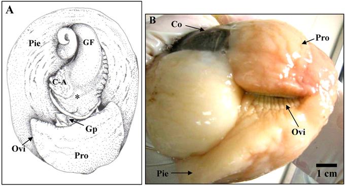 Anatomía del sistema reproductor femenino y masculino de Sinum cymba ...