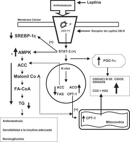 mecanismo molecular diabetes tipo 2