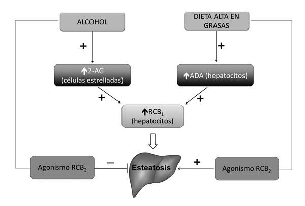 Esteatosis hepatica grado 2 dieta