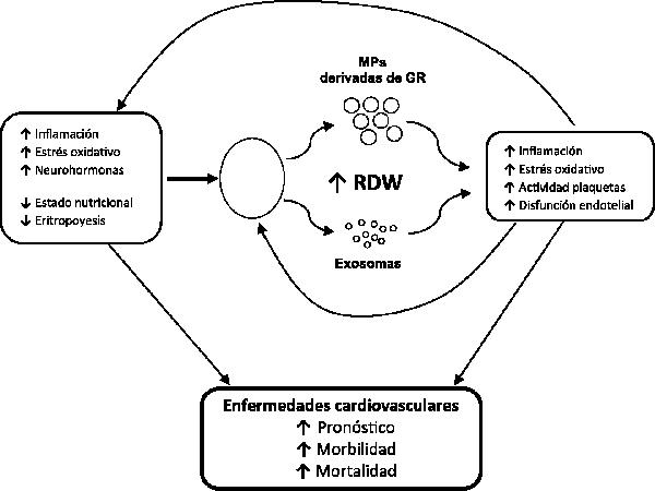 ancho distribucion eritrocitos alto