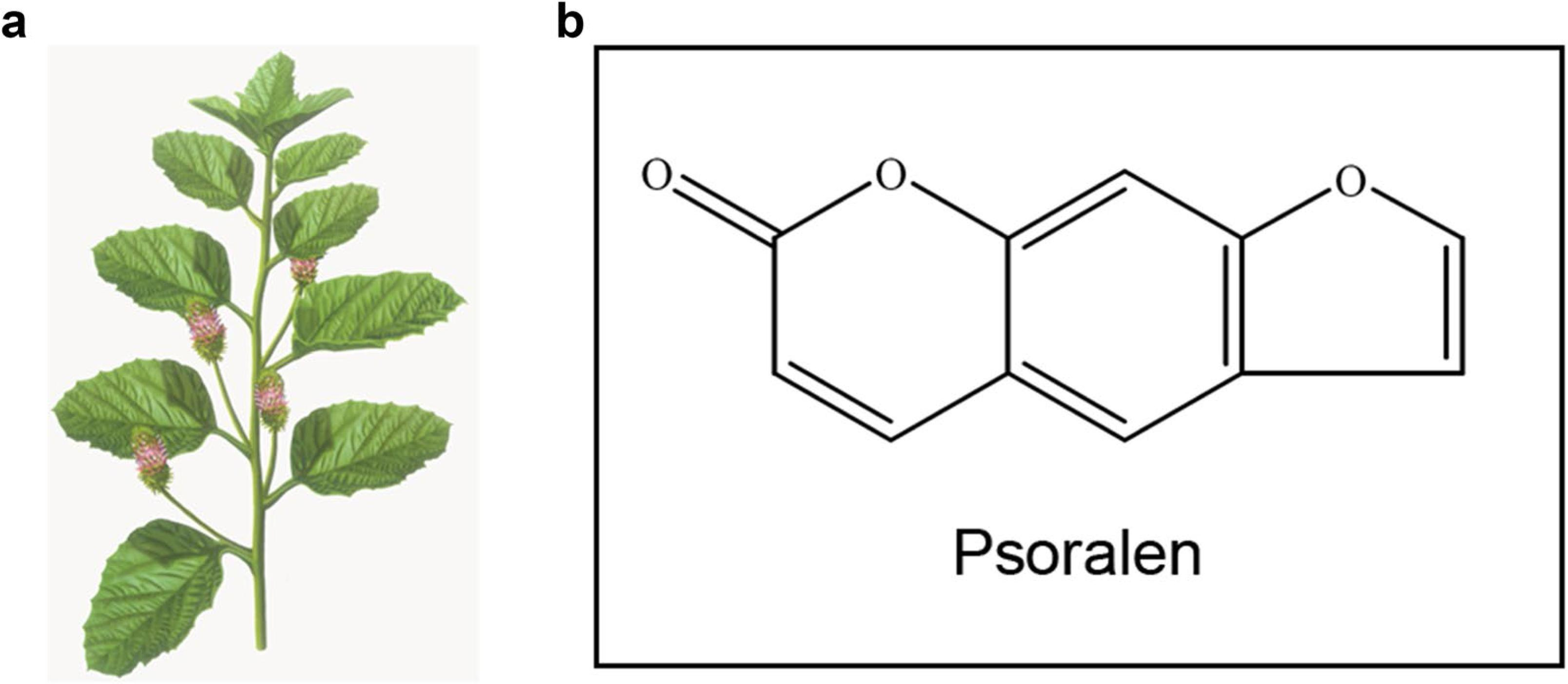 Psoralen inhibits malignant proliferation and induces