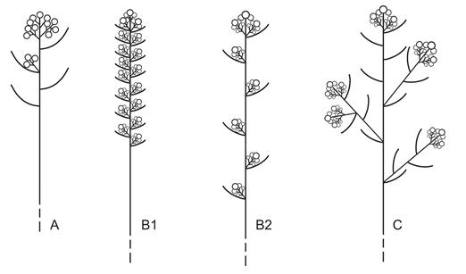 Inflorescences of Gamochaeta. A, Capitula arranged in dense terminal clusters (G. alpina, G. andina, G. depilata, G. neuquensis, G. nivalis, G. oligantha, G. procumbens, G. serpyllifolia, G. spiciformis, G. villarroelii); B, Capitula in dense clusters arranged in botryoid inflorescence or spikes. B1, Continuous spike (G. aliena, G. americana, G. deserticola, G. falcata, G. filaginea, G. stachydifolia, G. subfalcata, G. valparadisea); B2, Conspicuously discontinuous spikes (G. axillaris, G. chamissonis, G. humilis, G. simplicicaulis); C, Capitula in dense clusters arranged in panicles (G. ramosa, G. falcata occasionally G. americana, G. filaginea). FIGURA 2. Inflorescencias de Gamochaeta. A, Capítulos agrupados en densos glomérulos terminales (G. alpina, G. andina, G. depilata, G. neuquensis, G. nivalis, G. oligantha, G. procumbens, G. serpyllifolia, G. spiciformis, G. villarroelii); B, Capítulos en densos glomérulos reunidos a su vez en inflorescencias botrioides o espigas. B1, Espigas continuas (G. aliena, G. americana, G. deserticola, G. falcata, G. filaginea, G. stachydifolia, G. subfalcata, G. valparadisea); B2, Espigas conspicuamente discontinuas (G. axillaris, G. chamissonis, G. humilis, G. simplicicaulis); C, Capítulos en densos glomérulos reunidos a su vez en panículas (G. ramosa, G. falcata occasionalmente G. americana, G. filaginea).