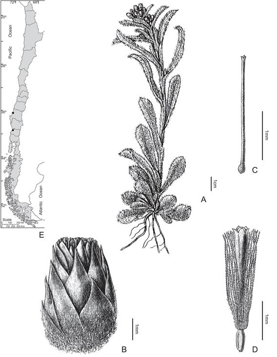 Gamochaeta stachydifolia. A, Habit; B, Capitulum; C, Corolla of the pistillate floret; D, Bisexual floret; E, Distribution [A-D, from Fl. Patagónica 8(7): 124. 1971]. FIGURA 25. Gamochaeta stachydifolia. A, Planta; B, Capítulo; C, Corola de la flor pistilada; D, Flor bissexual; E, Distribución [A-D, tomado de Fl. Patagónica 8(7): 124. 1971].