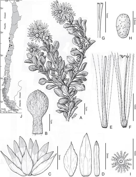 Gamochaeta valparadisea. A, Habit; B, Leaf; C, Involucre; D, Phyllaries; E, Pistillate floret without ovary; F, Bisexual floret without ovary; G, Style branches; H, Achene; I, Pappus; J, Distribution [A-I, Germain in 1854, LP]. FIGURA 27. Gamochaeta valparadisea. A, Planta; B, Hoja; C, Involucro; D, Filarios; E, Flor pistilada sin ovario; F, Flor bisexual sin ovario; G, Ramas del estilo; H, Aquenio; I, Papus; J, Distribución [A-I, Germain en 1854, LP].
