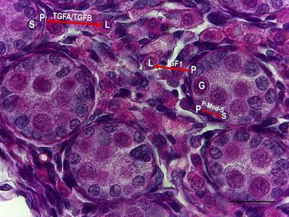 Interacciones Epitelio-Mesenquimáticas en el Desarrollo Testicular