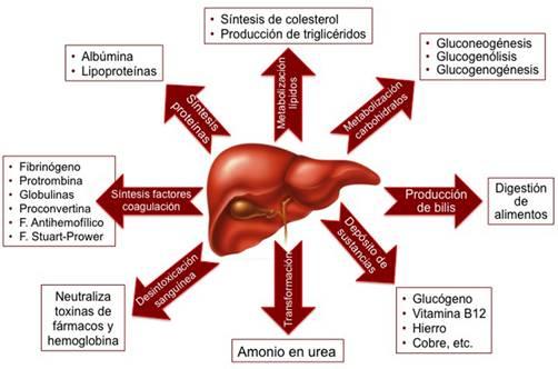 Anatomía Quirúrgica y Radiológica del Hígado. Fundamentos para las ...