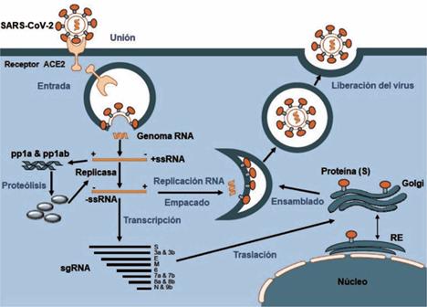 Bases Geneticas Y Moleculares Del Covid 19 Sars Cov 2 Mecanismos De Patogenesis Y De Respuesta Inmune