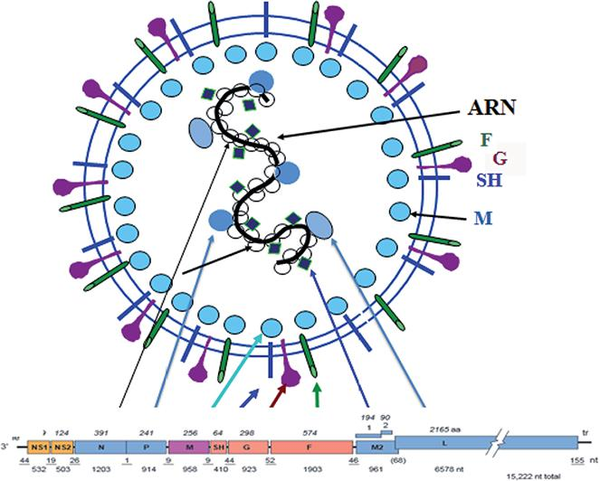 virus sincitial respiratorio caracteristicas