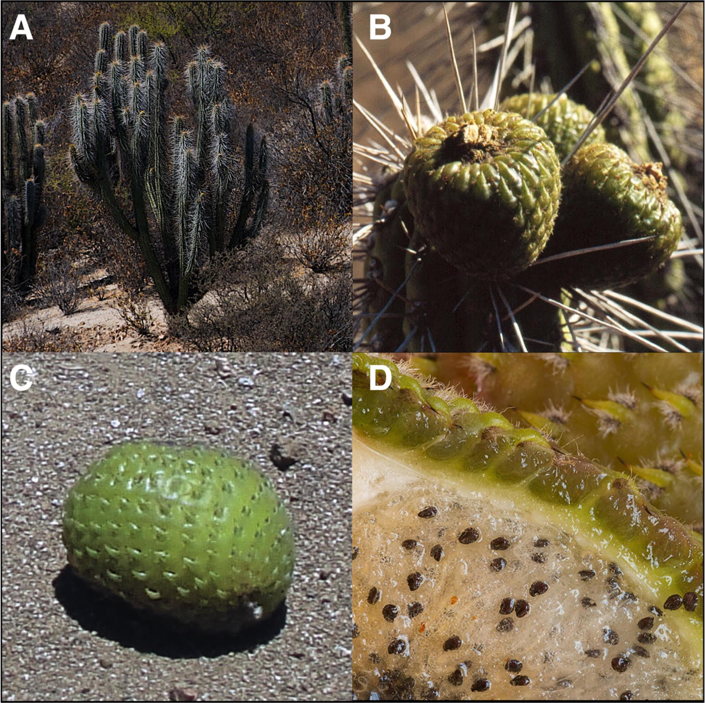 Frugivory and seed dispersal in the endemic cactus Eulychnia