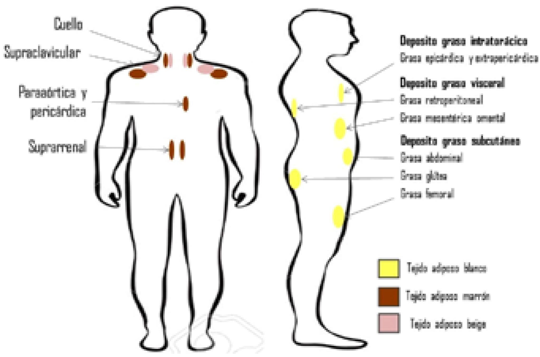 Fisiopatología de la obesidad: Perspectiva actual