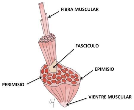 Lesiones musculares deportivas: Correlación entre anatomía y estudio ...