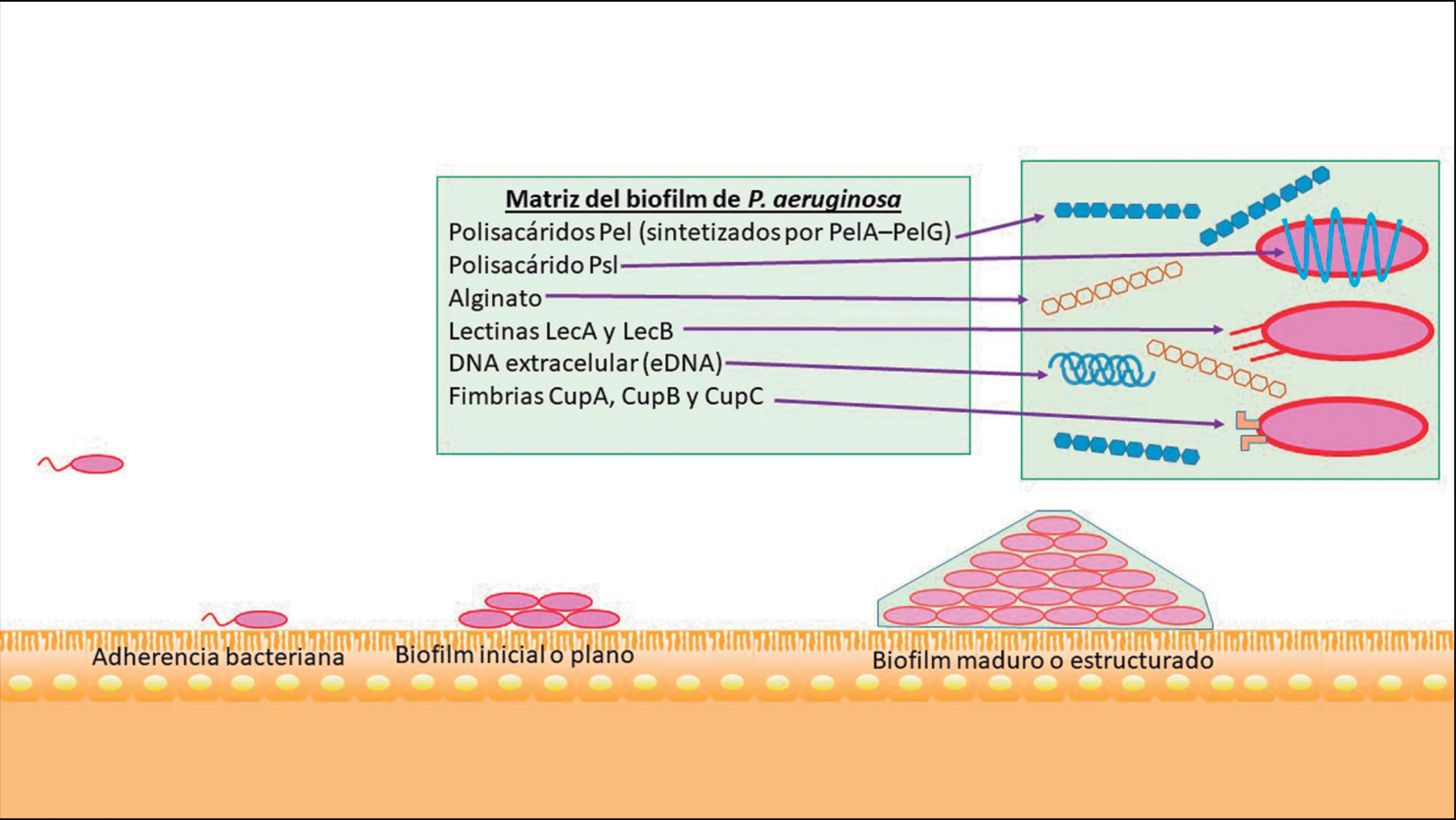 Pseudomonas Aeruginosa Patogenicidad Y Resistencia